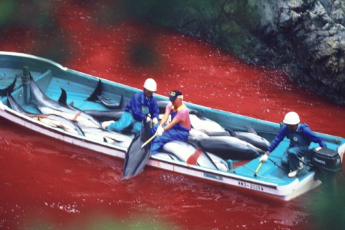 dolphin_slaughter_taiji_japan_the_cove_brooke_mcdonald_23